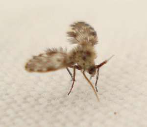 Diptera - Psychodidae - Moth Fly indet 35