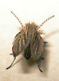 Diptera - Psychodidae - Moth Fly indet 53