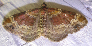 Red/Dark-barred Twin-spot Carpet - Xanthorhoe spadicearia/ferrugata