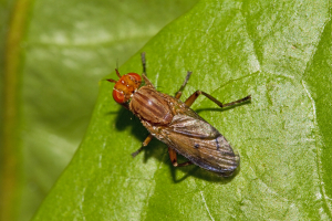 Medium-sized fly with distinctive markings