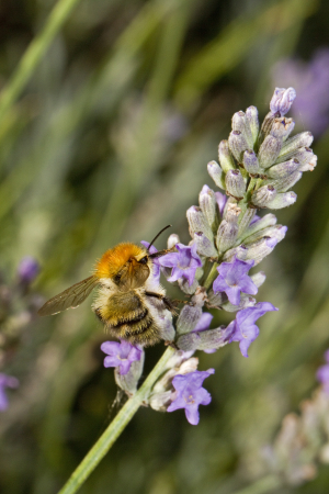 Small bee feeding on lavender