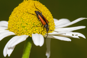 I have this as perhaps Male Longhorn Beetle, Leptura rubra