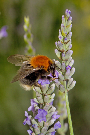 Tree Bumblebee, Bombus hypnorum
