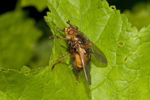 Tachinid fly, Tachina fera