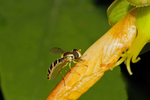 Hoverfly on Rose of Sharon