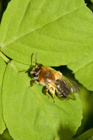 Female Early Mining Bee (Andrena haemorrhoa)