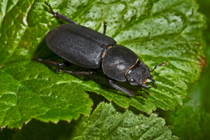 Lesser Stag Beetle, Dorcus parallelopipedus