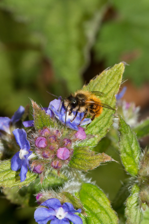A small bee on green alkanet. Andrena?