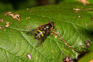 Hoverfly on bramble. Chrysotoxum?