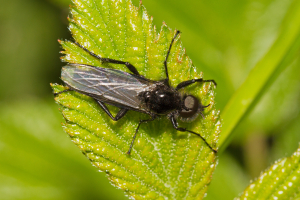 Male St Mark's-fly, Bibio marci