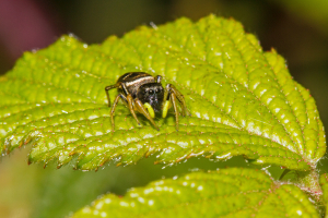 Jumping Spider, (not Zebra)