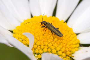 Flower Beetle, Oedemera lurida