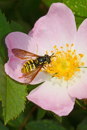 Striking hoverfly on dog rose