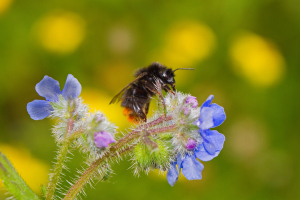 Female Red-tailed Bumblebee on green alkanet