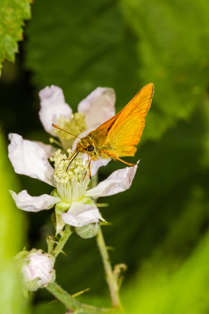 Small Skipper on bramble blossom. Male or female?
