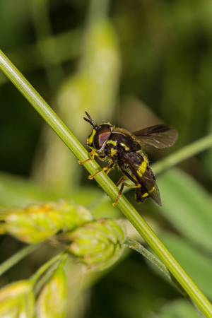 Hoverfly, Xanthogramma pedissequum