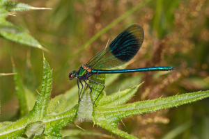 Male Banded Agrion, Calopteryx splendens