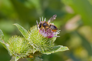 Anthidium (anthidium) manicatum?