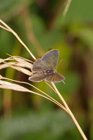 Female Small Blue