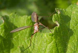 Crane-fly with green eyes, Tiger?