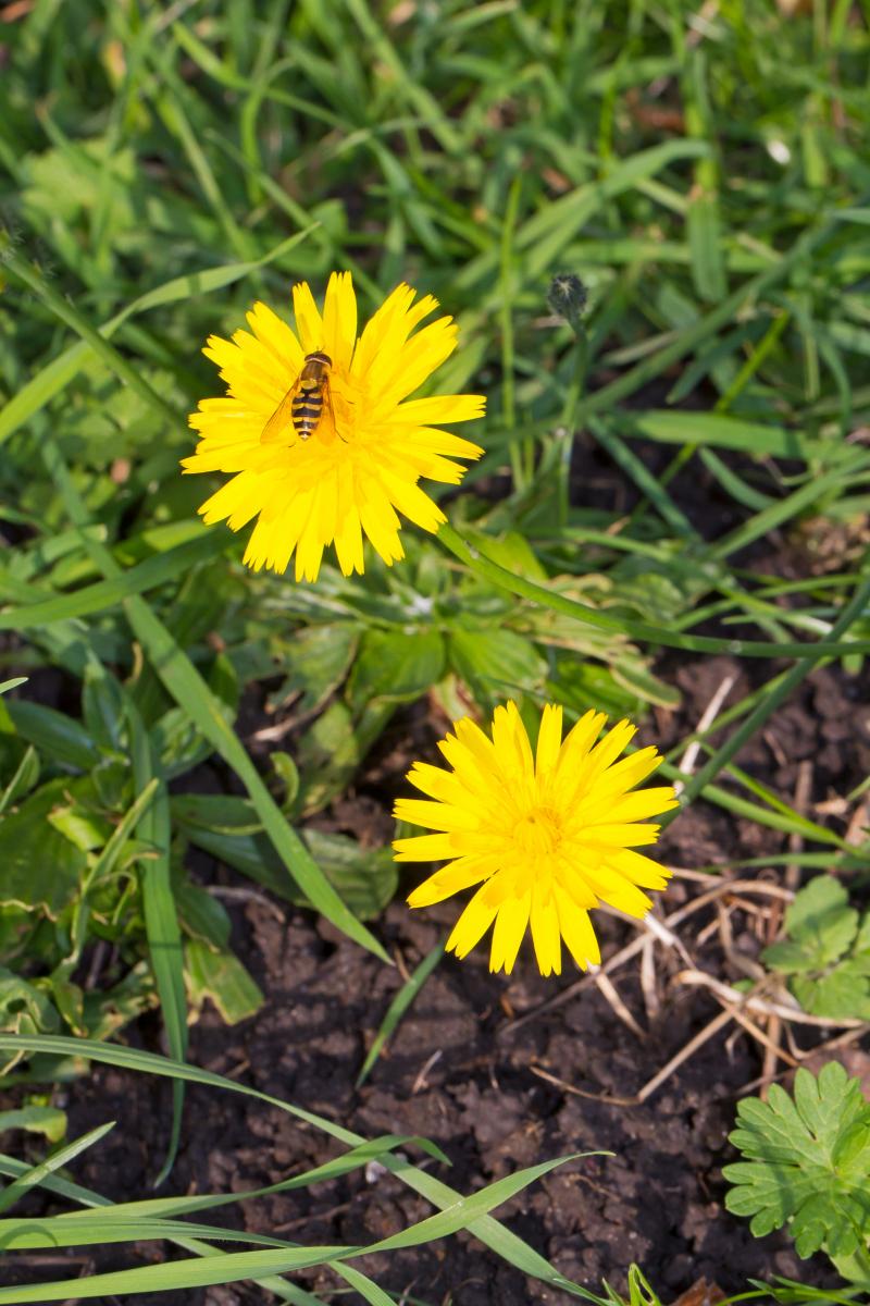 Small yellow flowers observation uk and ireland ispot mg2703 edit mightylinksfo