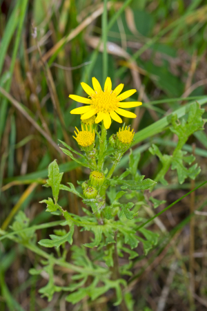 Late-flowering ragwort?