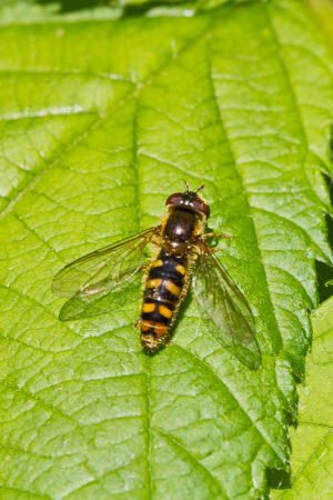 A hoverfly species new to me