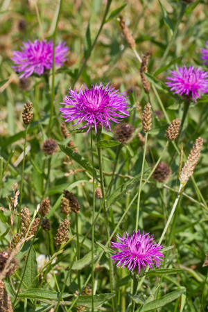 Thistle-like summer flowers