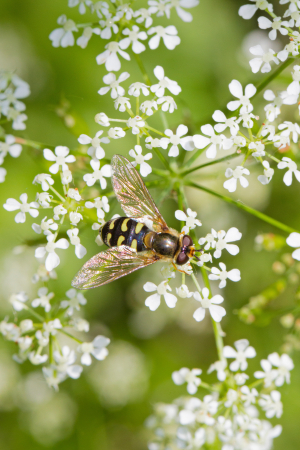 Hoverflyon cow parsley. Eupeodes?