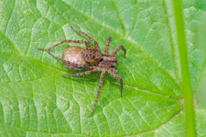 Female spider with egg sac