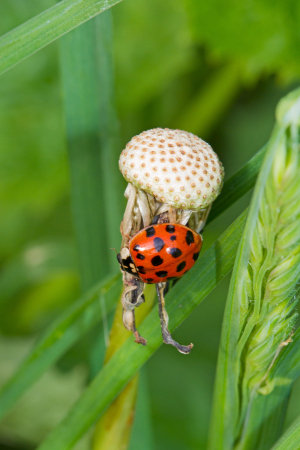 Small fungus with Harlequin ladybird