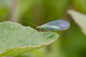 Green Lacewing, Chrysoperla carnea