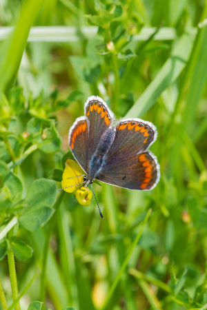Female Brown Argus