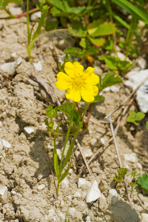Yellow flower growing on chalky soil