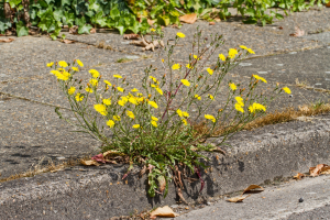 Flowers/weed  colonising pavement