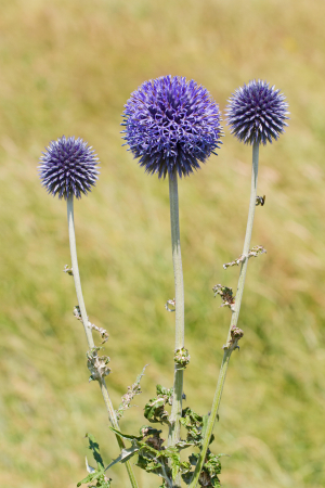 Tall thistle with blue 'heads'