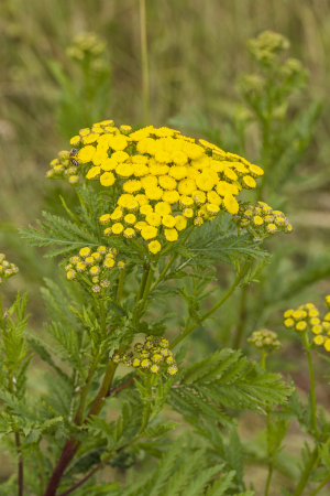Plant with yellow clusters