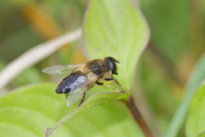 Large Eristalis. Species uncertain