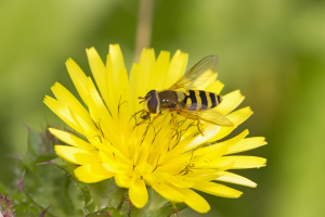 Hoverfly, Syrphus Sp