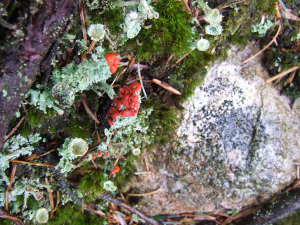 Unidentified lichen