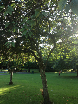 Fruiting Tree in park