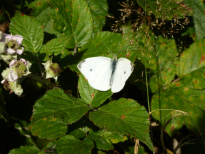 Small White (Pieris rapae) Butterfly