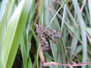 Male Scorpion Fly (Panorpa communis)
