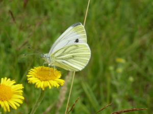 Green-Veined White (Pieris napi) Butterfly