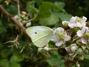 Small White (Pieris rapae) Butterfly 2