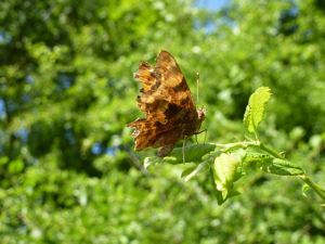 Comma (Polygonia c-album) Butterfly 1