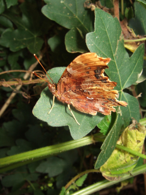 Comma (Polygonia c-album) Butterfly 2