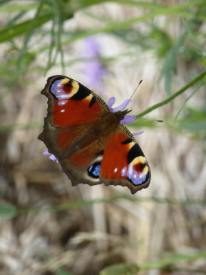 Peacock Butterfly (Inachis io) 4