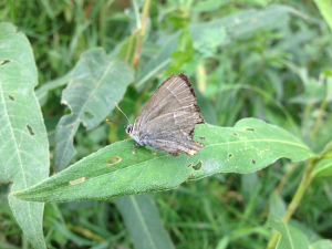 Female Purple Hairstreak (Neozephyrus quercus)