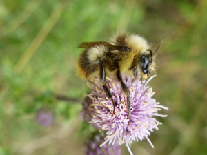 Early Bumble Bee (Bombus pratorum)